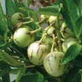 melon pear