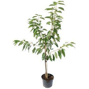 sunburst cherry tree gift 1