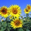 sunflowers 268015 1920