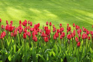 red tulips on green grass field 47313